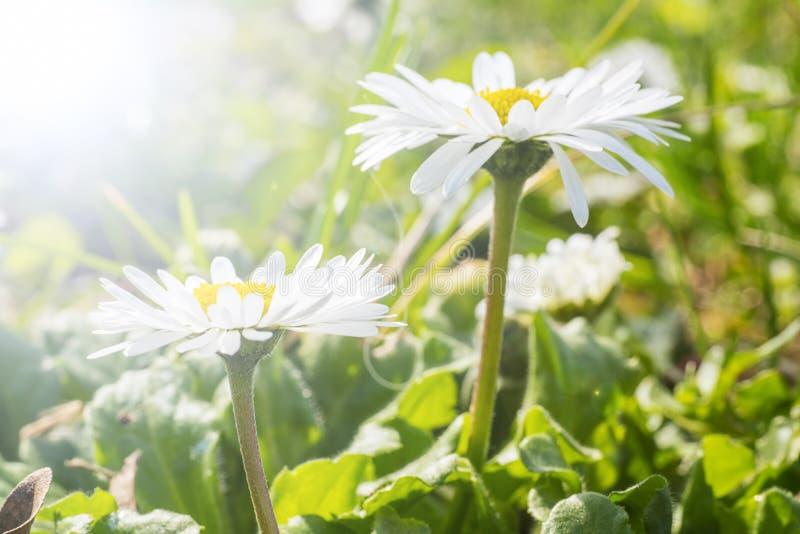 Margaridas brancas em um jardim imagem de stock royalty free