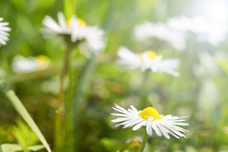 Margaridas brancas em um jardim foto de stock