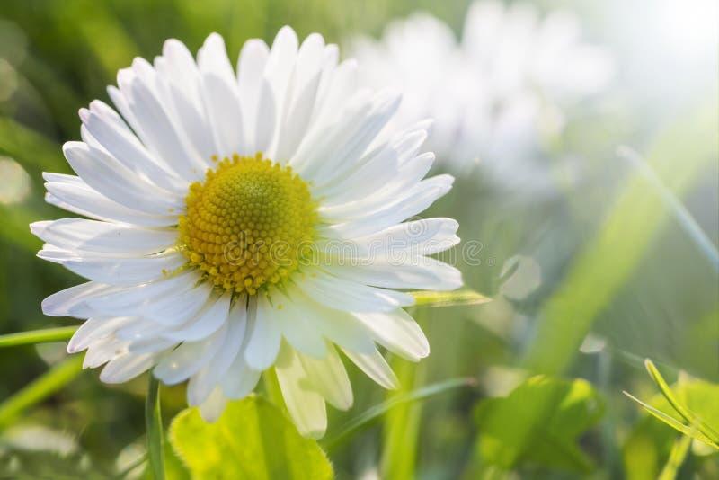Margaridas brancas em um jardim fotografia de stock royalty free