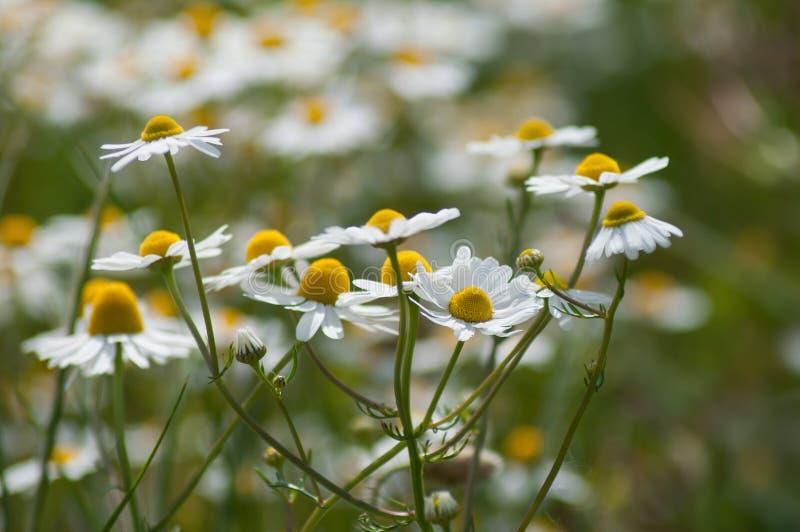 Margaridas brancas em um prado imagem de stock royalty free