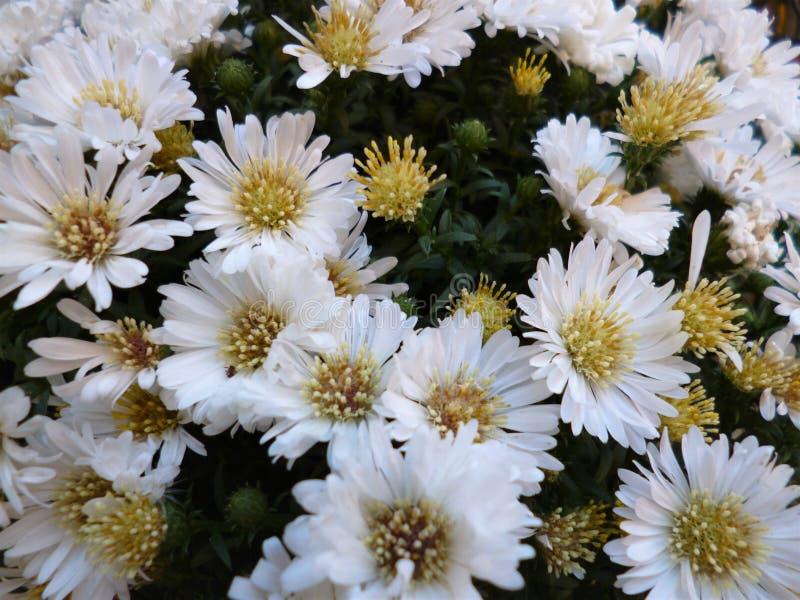 Margaridas brancas no jardim imagem de stock