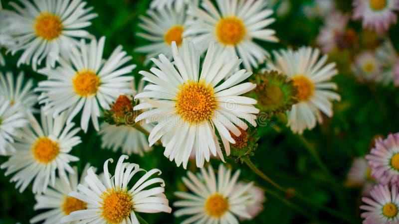 Margaridas brancas no jardim imagens de stock
