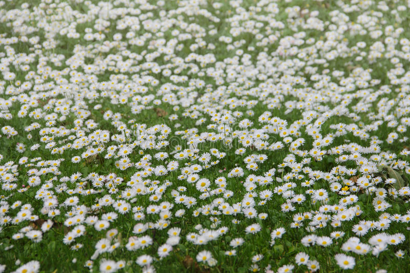 Margaridas brancas no prado fotografia de stock royalty free
