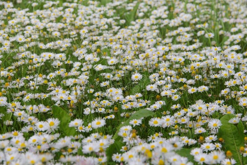 Margaridas brancas no prado imagens de stock