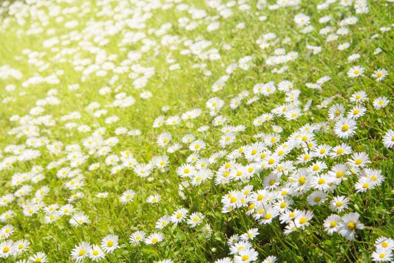Margaridas brancas no prado foto de stock royalty free