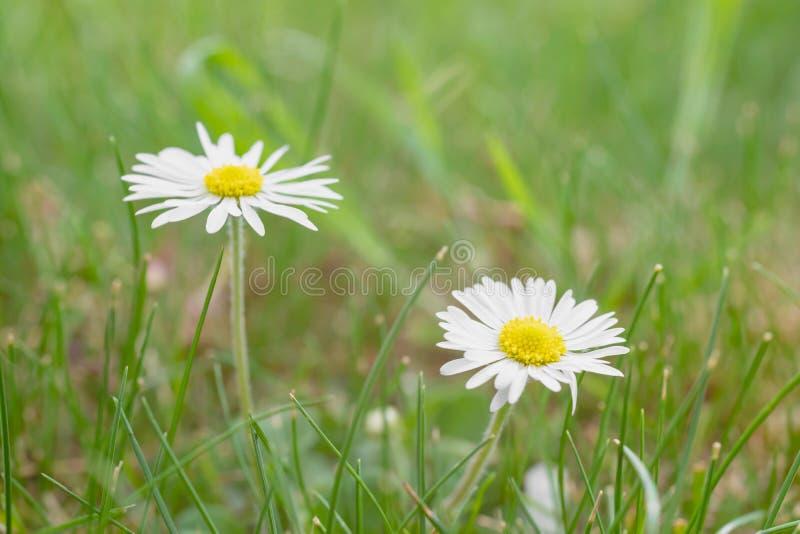 Margaridas brancas no prado fotos de stock