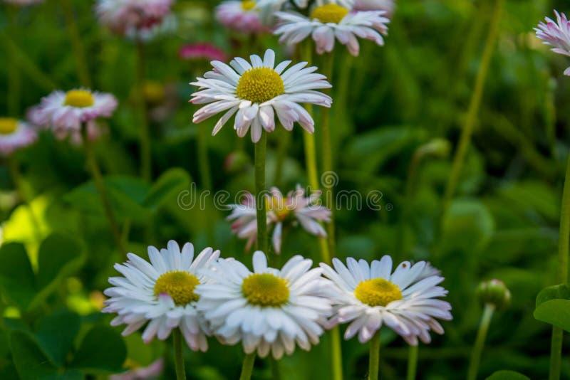 Margaridas brancas pequenas que crescem no jardim foto de stock royalty free
