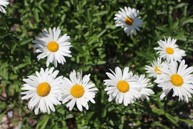 Margaridas brancas selvagens de Ontário imagens de stock