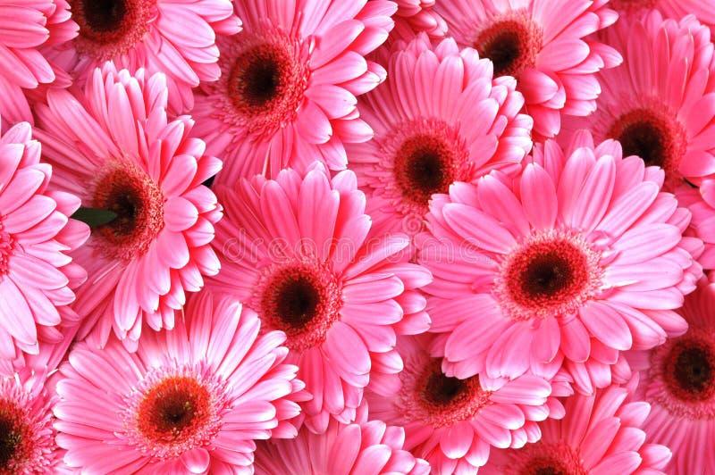 Margaridas cor-de-rosa brilhantes do Gerbera foto de stock royalty free