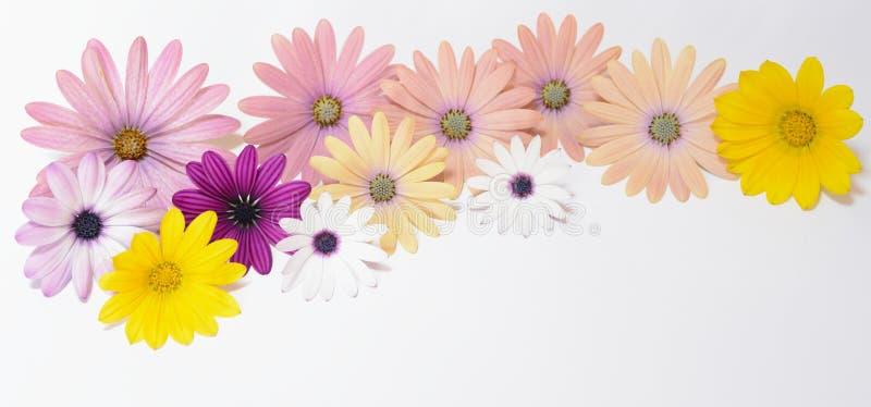 Margaridas cor-de-rosa e amarelas imagens de stock