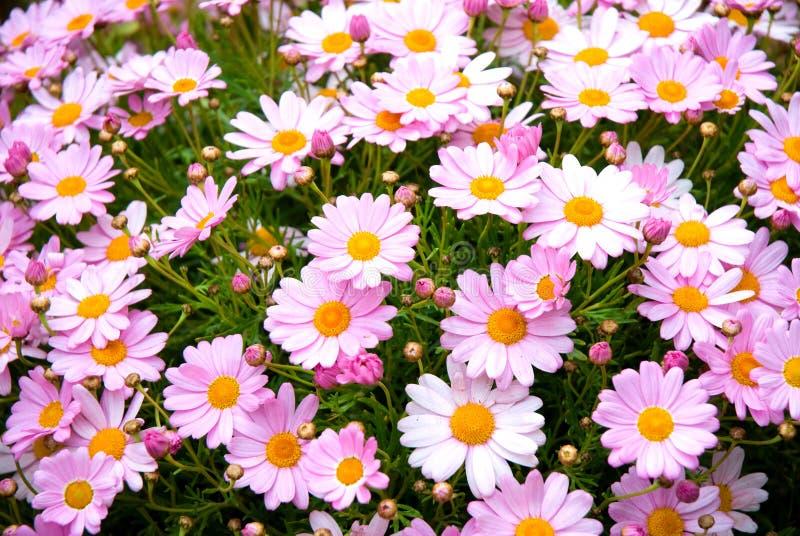 Margaridas cor-de-rosa espanholas foto de stock