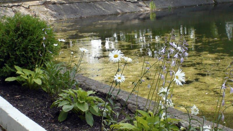 Margaridas de Bush, lagoa coberto de vegetação, parque, verão, cama de flor, imagens de stock