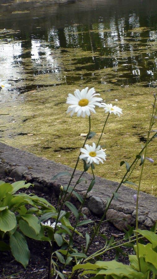 Margaridas de Bush, lagoa coberto de vegetação, parque, verão, cama de flor, imagem de stock