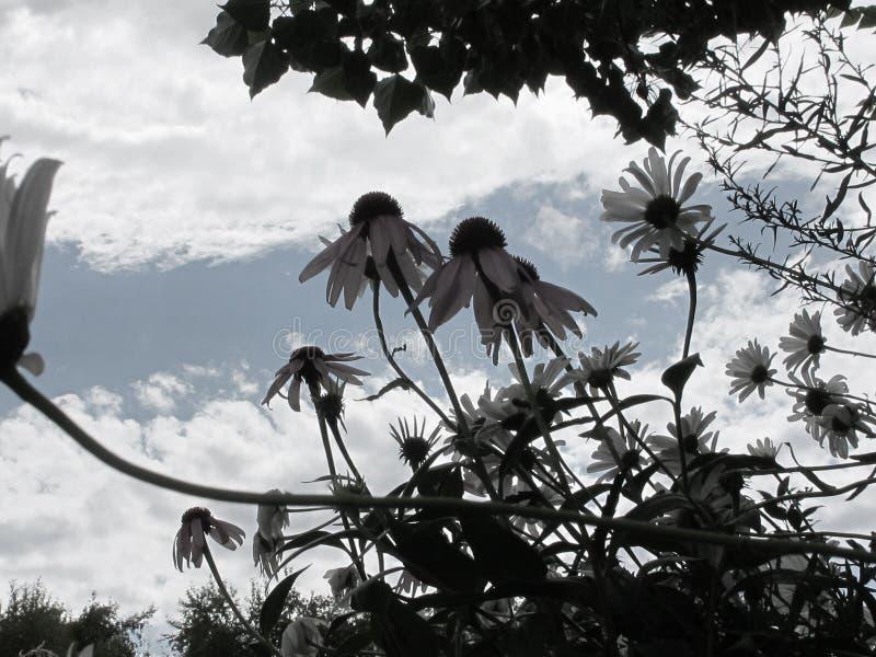 Margaridas de montanha de De Saturated Selvagem com contexto do céu e das nuvens foto de stock