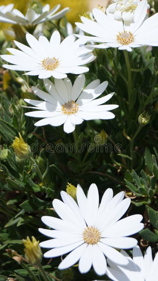 Margaridas, natureza e sol foto de stock royalty free