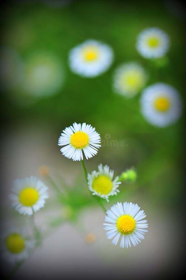 Margaridas no sumário da flor fotografia de stock