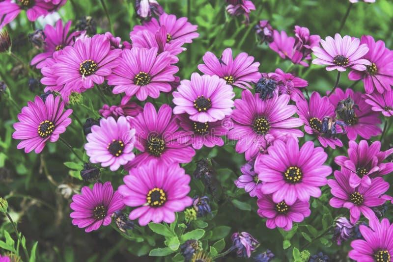 Margaridas roxas no jardim, exterior fotos de stock royalty free