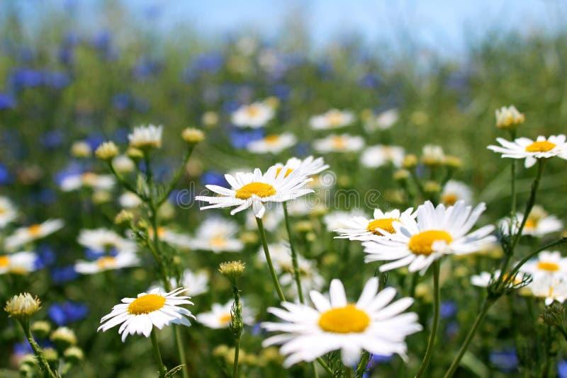 Margaridas selvagens, muitas flores borradas no campo, camomila imagem de stock