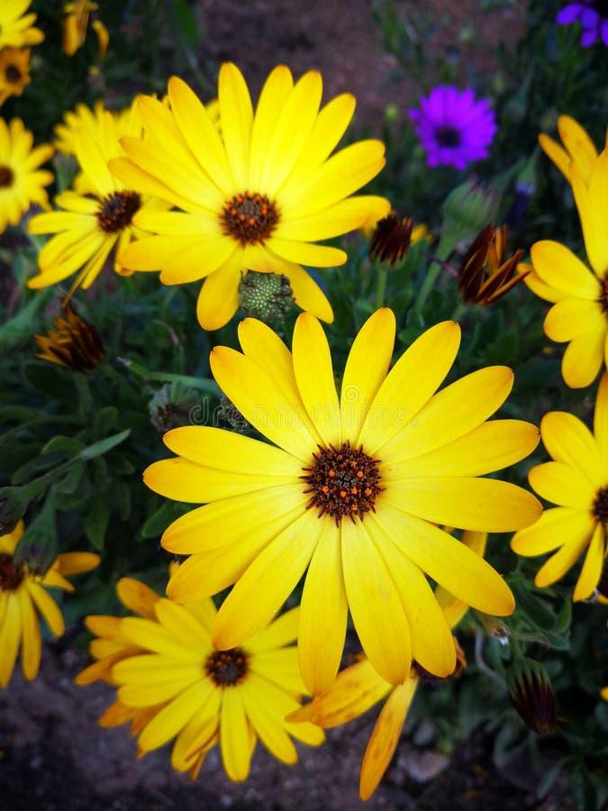 Margarita africana amarilla hermosa fotografía de archivo