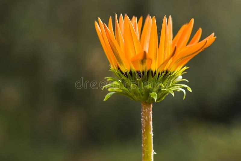 Margarita africana anaranjada fotografía de archivo