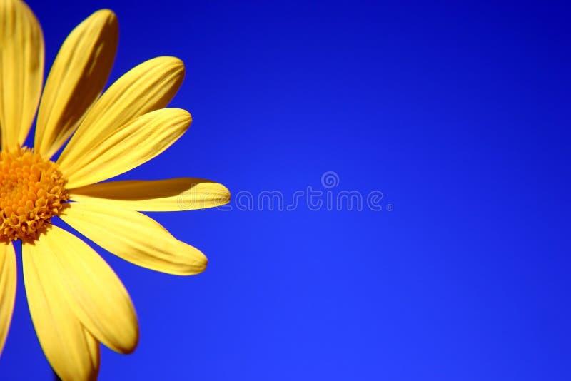 Margarita amarilla imagenes de archivo
