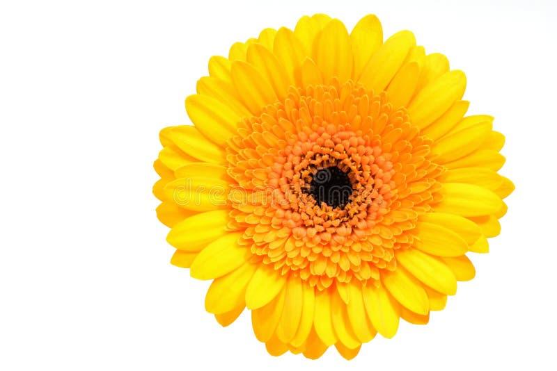 Margarita amarilla del gerber fotografía de archivo