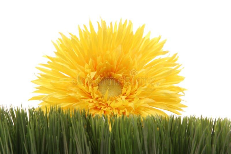 Margarita amarilla hermosa en la hierba verde aislada en el fondo blanco foto de archivo libre de regalías