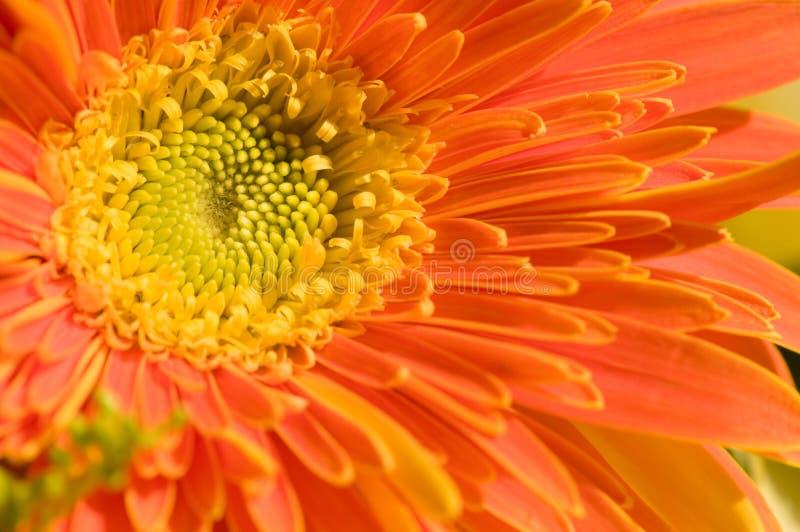Download Margarita anaranjada foto de archivo. Imagen de crisantemo - 7279922