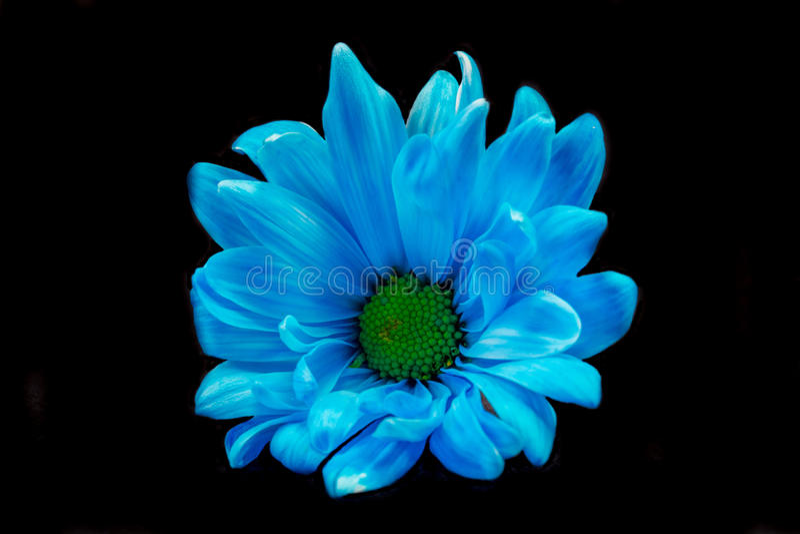 Margarita azul de Gerber imagen de archivo libre de regalías