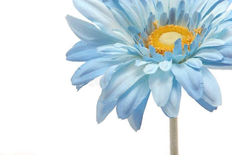Margarita azul hermosa del gerbera aislada en blanco imagenes de archivo