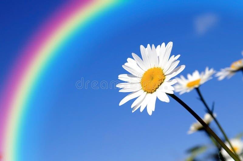 Margarita bastante delicada bajo protección del arco iris imagen de archivo libre de regalías