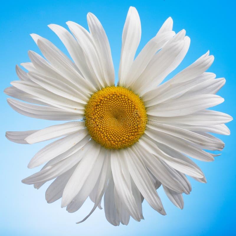 Margarita blanca fotos de archivo libres de regalías