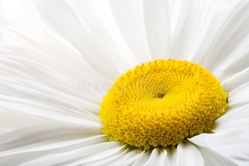 Margarita blanca imagen de archivo libre de regalías
