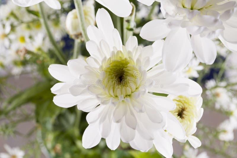 Margarita blanca en cierre para arriba imagenes de archivo