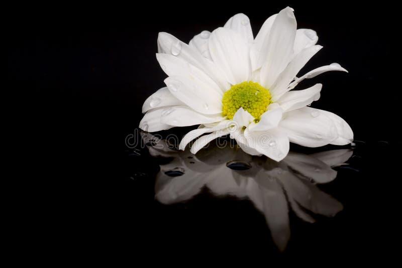 Margarita blanca en negro con la reflexión fotos de archivo libres de regalías
