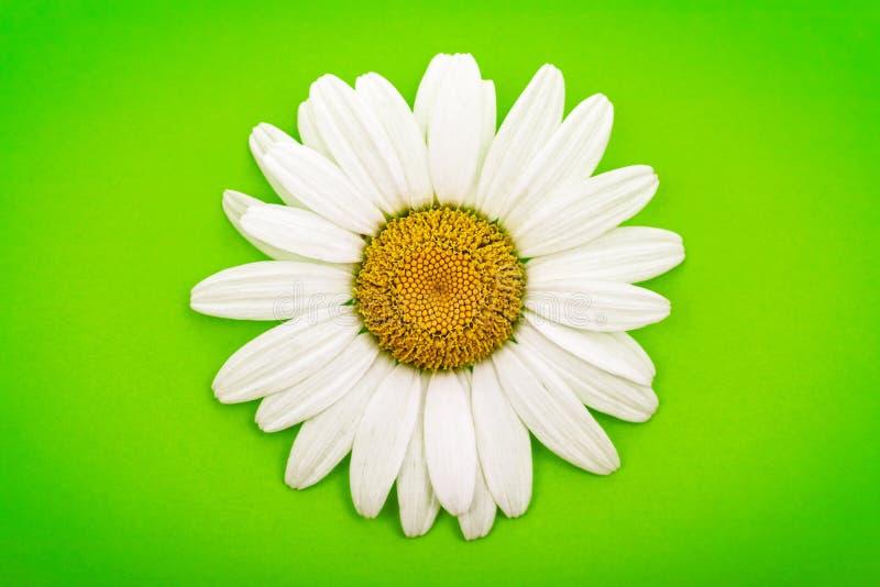Margarita blanca en verde fotos de archivo libres de regalías