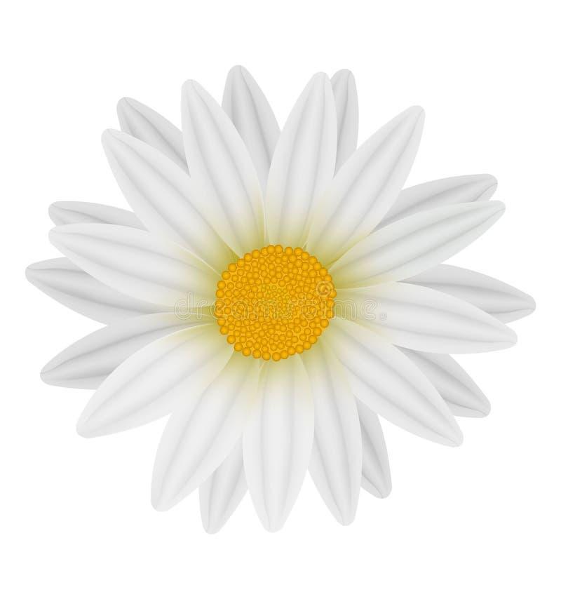 Margarita blanca hermosa. stock de ilustración