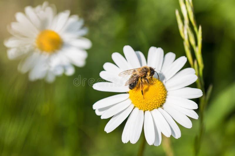 Margarita blanca y abeja europea de la miel Vulgare del Leucanthemum Mellifera de los Apis fotografía de archivo