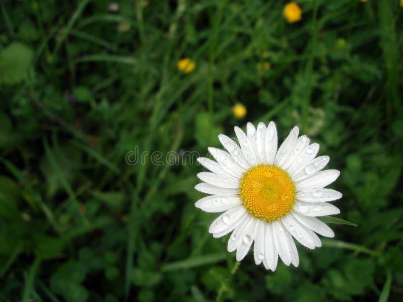 Margarita blanche après la fleur de pluie au printemps photos stock