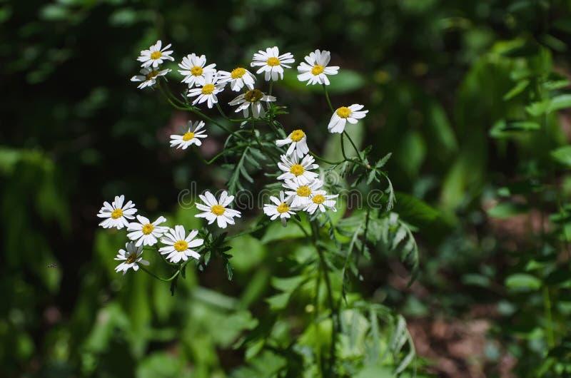 Margarita con las flores blanco-amarillas foto de archivo