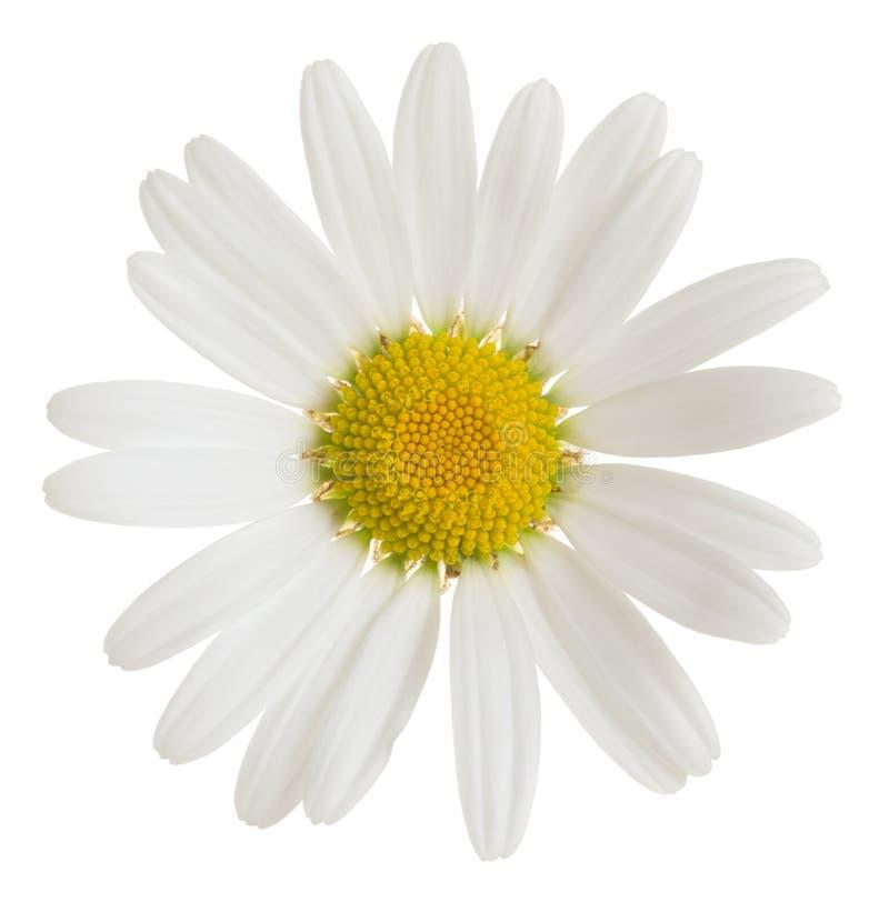 Margarita de Oxeeye, flor del vulgare del Leucanthemum aislada en el fondo blanco foto de archivo libre de regalías