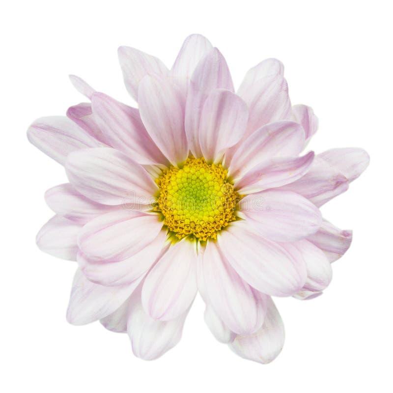 margarita del crisantemo imagen de archivo