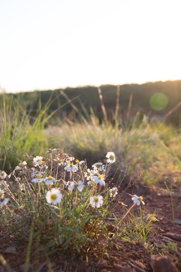 Margarita del desierto fotos de archivo libres de regalías