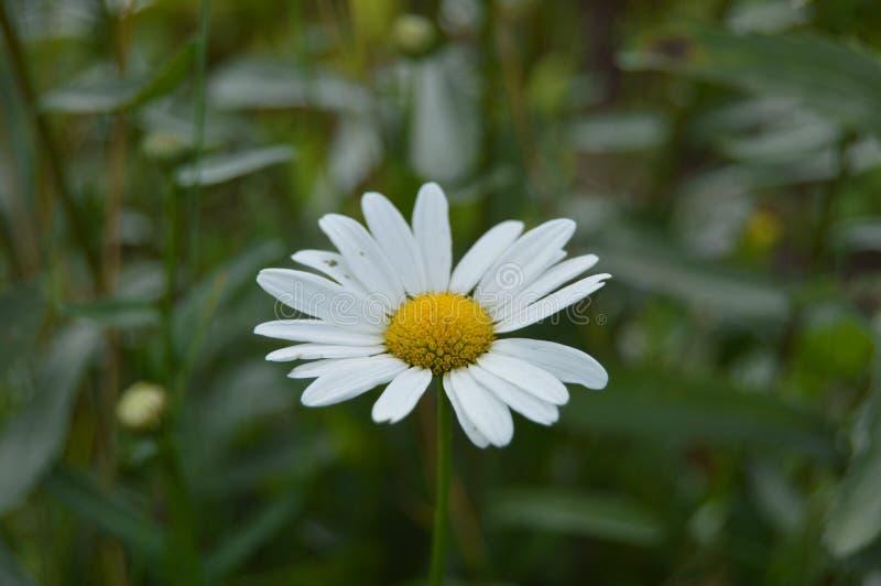 Margarita del primer con los pétalos blancos hermosos en el prado imagenes de archivo