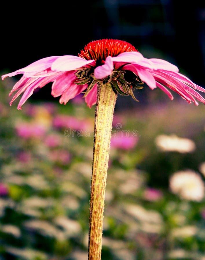 Margarita del rosa de la vista lateral imágenes de archivo libres de regalías