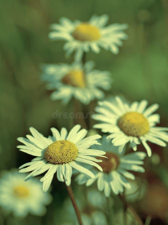Download Margarita del verano foto de archivo. Imagen de parque - 42441912