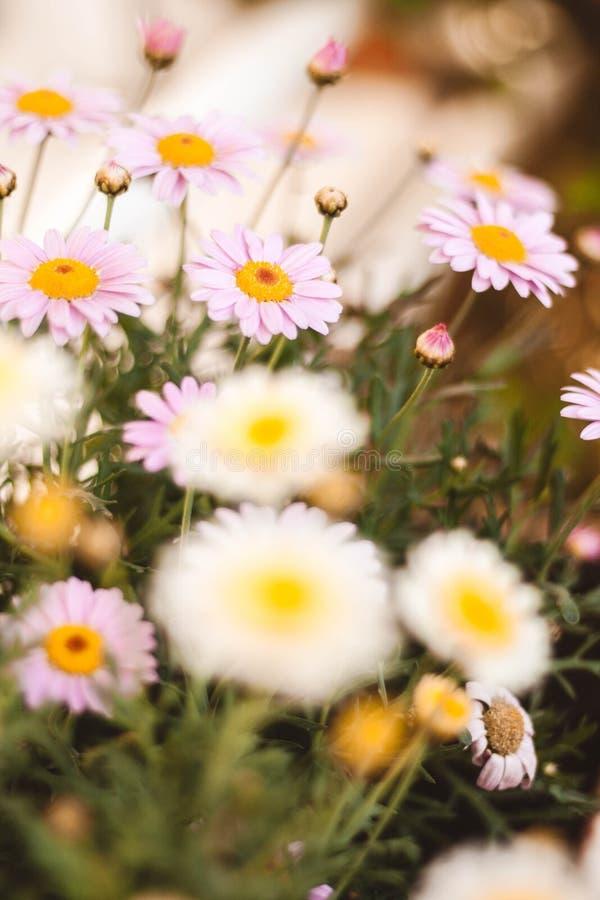 Margarita en el campo de diversos colores en primavera imágenes de archivo libres de regalías
