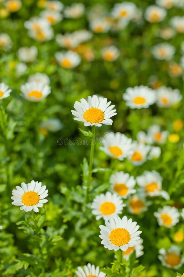 Margarita en las flores foto de archivo