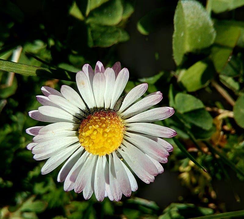 Margarita Flor imagem de stock