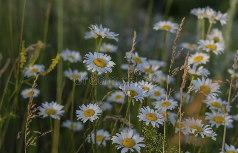 Margarita - flor salvaje imagen de archivo